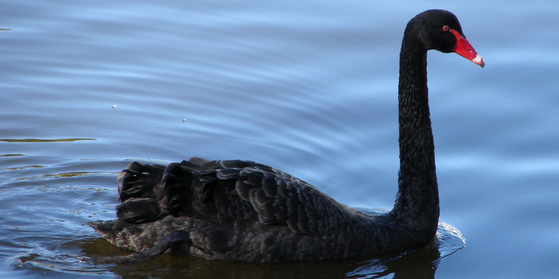 One of two black swans on the water.